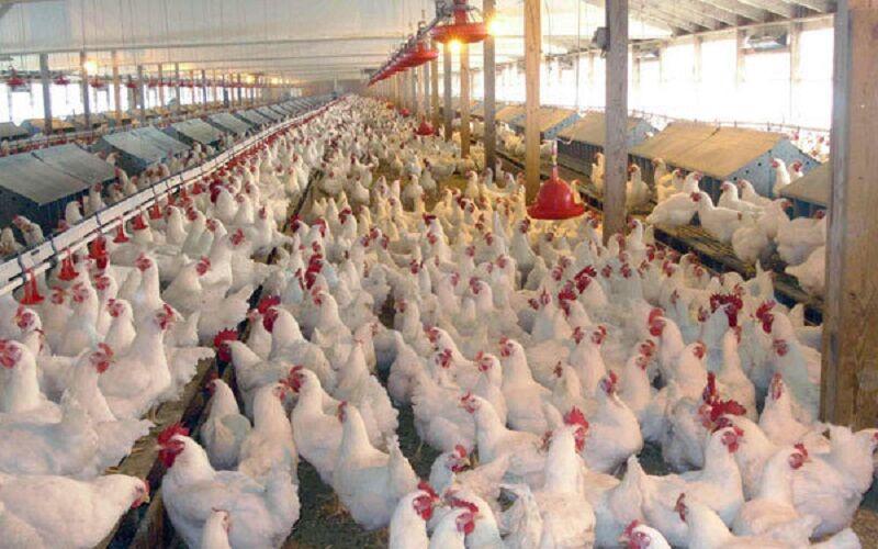 آخرین قیمت مرغ پس از کاهش