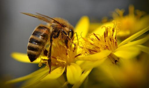 فیلم| ماجرای تاثیر نیش زنبورعسل بر کرونا!