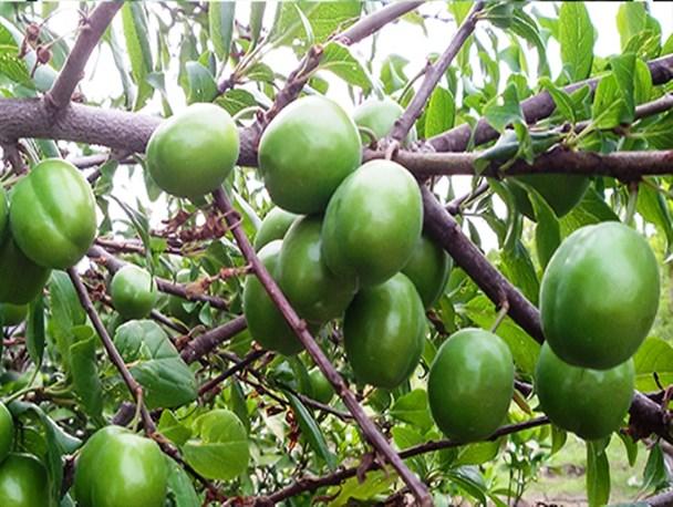 خاصیت گوجه سبز در تابستان