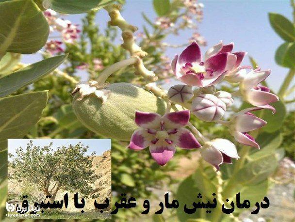 آشنایی به گیاه استبرق درمان کننده نیش مار
