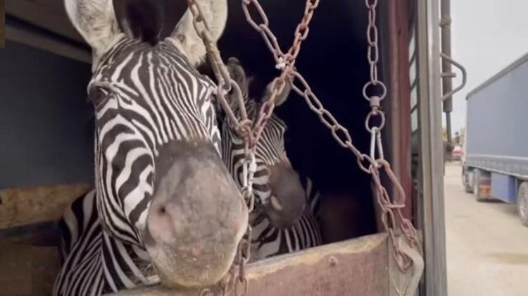 فیلم| ماجرای مرگ عجیب گورخر آفریقایی در باغوحش صفادشت