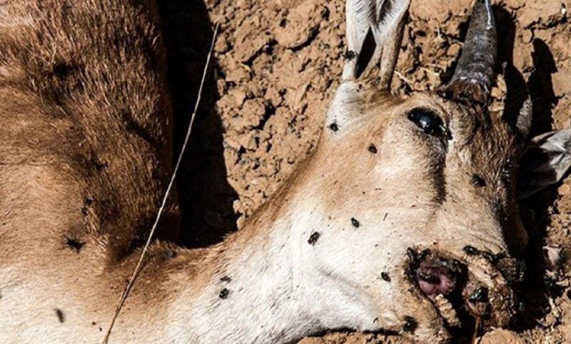 جزئیات شیوع طاعون نشخوارکنندگان کوچک در 4 استان / کشف 26 لاشه حیات وحش