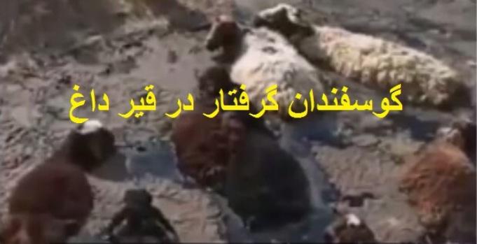 فیلم| ماجرای گرفتار شدن یک گله گوسفند در قیر داغ در حاشیه کرج