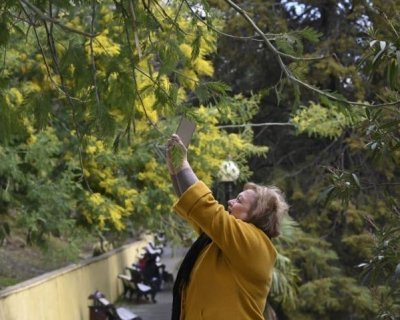 تصاویر جذاب بهاری درختان آکاسیا