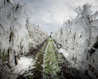 تصاویری از سیبهای یخی اسلواکی