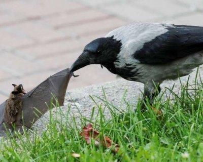 تصاویر دیدنی روز؛ از حمله کلاغ به خفاش تا وداع شینزو آبه